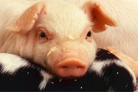 Toennies-Fleisch-Schwein